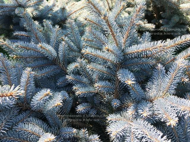 Ель колючая голубая Глаука Глобоза (Picea pungens Glauca Globosa) на штамбе ФОТО Питомник растений Природа Priroda (132)