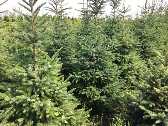 Ель Сербская (Picea omorica) ФОТО Питомник растений Природа Priroda (155)