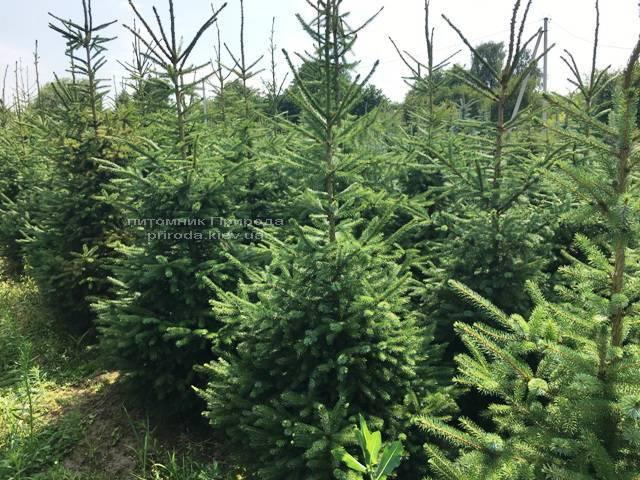Ель Сербская (Picea omorica) ФОТО Питомник растений Природа Priroda (156)
