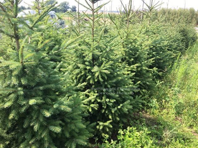 Ель Сербская (Picea omorica) ФОТО Питомник растений Природа Priroda (158)