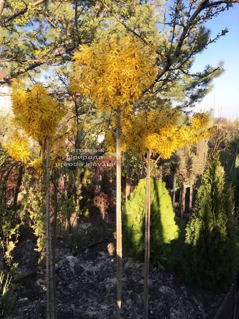 Форзиция промежуточная (Forsythia intermedia) на штамбе ФОТО Питомник растений Природа Priroda