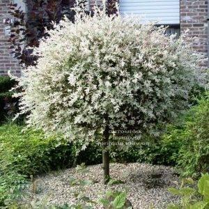 Ива цельнолистная японская Хакуро-Нишики (Salix integra Hakuro-nishiki) на штамбе ФОТО Питомник растений Природа Priroda