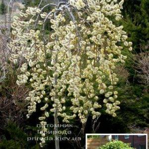 Ива козья Килмарнок плакучая (Salix caprea Kilmarnock рendula) на штамбе ФОТО Питомник растений Природа Priroda