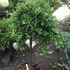 Ива симулатрикс (Salix simulatrix) на штамбе ФОТО Питомник растений Природа Priroda