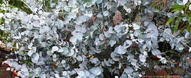 Эвкалипт (Eucalyptus) ФОТО Питомник растений Природа Priroda