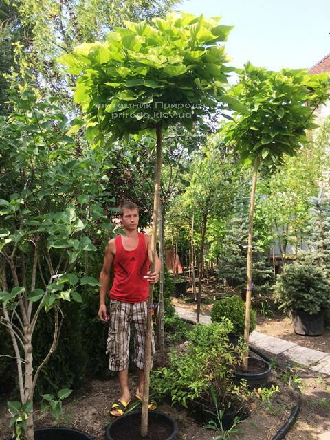 Катальпа бигнониевидная Нана (Catalpa bignoides Nana) на штамбе ФОТО Питомник растений Природа Priroda (17)