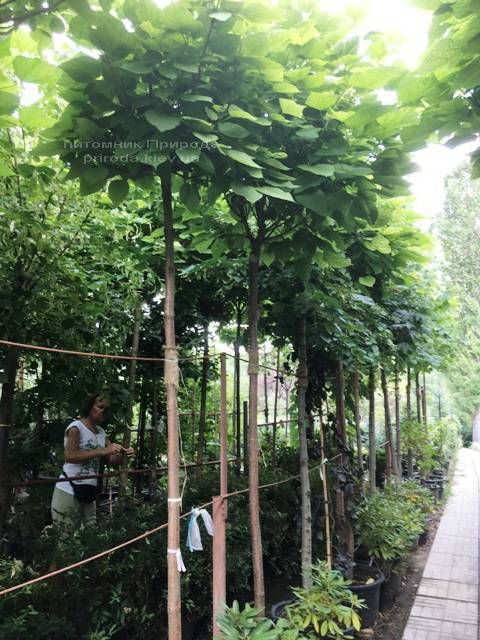 Катальпа бигнониевидная Нана (Catalpa bignoides Nana) на штамбе ФОТО Питомник растений Природа Priroda (20)