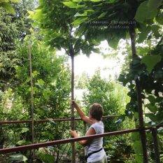 Катальпа бигнониевидная Нана (Catalpa bignoides Nana) на штамбе ФОТО Питомник растений Природа Priroda
