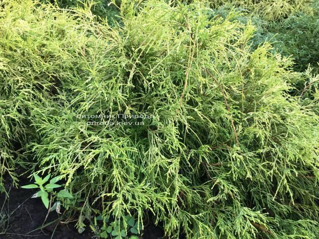 Кипарисовик горохоплодный Филифера Ауреа Нана (Chamaecyparis pisifera Filifera Aurea Nana) ФОТО Питомник растений Природа Priroda (49)