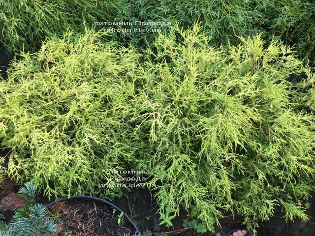 Кипарисовик горохоплодный Филифера Ауреа Нана (Chamaecyparis pisifera Filifera Aurea Nana) ФОТО Питомник растений Природа Priroda (51)