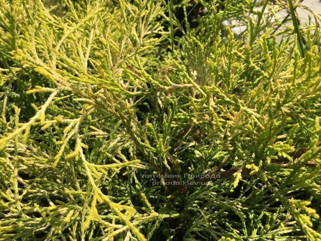 Кипарисовик горохоплодный Филифера Ауреа Нана (Chamaecyparis pisifera Filifera Aurea Nana) ФОТО Питомник растений Природа Priroda (52)