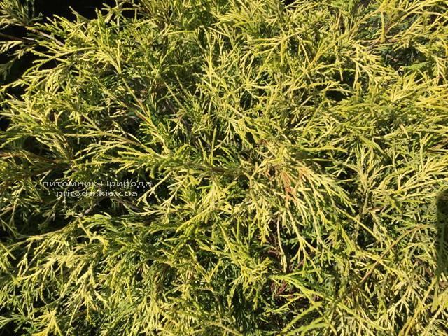 Кипарисовик горохоплодный Филифера Ауреа Нана (Chamaecyparis pisifera Filifera Aurea Nana) ФОТО Питомник растений Природа Priroda