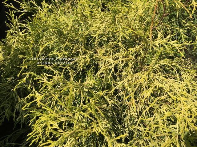 Кипарисовик горохоплодный Филифера Ауреа Нана (Chamaecyparis pisifera Filifera Aurea Nana) ФОТО Питомник растений Природа Priroda (55)
