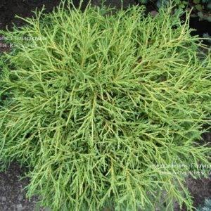 Кипарисовик горохоплодный Филифера Нана (Chamaecyparis pisifera Filifera Nana) ФОТО Питомник растений Природа Priroda (41)