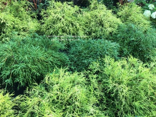 Кипарисовик горохоплодный Филифера Нана (Chamaecyparis pisifera Filifera Nana) ФОТО Питомник растений Природа Priroda (46)