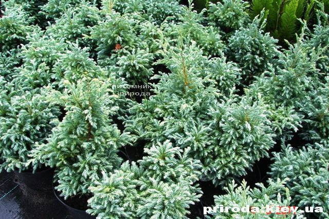 Кипарисовик Лавсона Болевард (Chamaecyparis lawsoniana Bolevard) ФОТО Питомник растений Природа Priroda