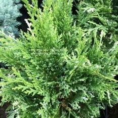 Кипарисовик нутканский Вариегата (Chamaecyparis nootkatensis Variegata) ФОТО Питомник растений Природа Priroda (56)