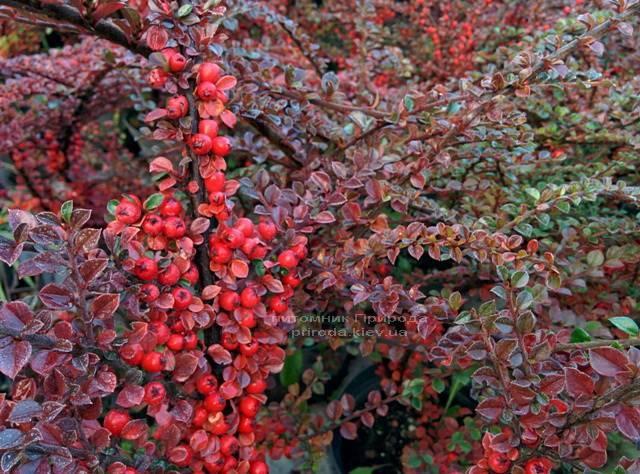 Кизильник горизонтальный (Cotoneaster horizontalis) ФОТО Питомник растений Природа Priroda (6)