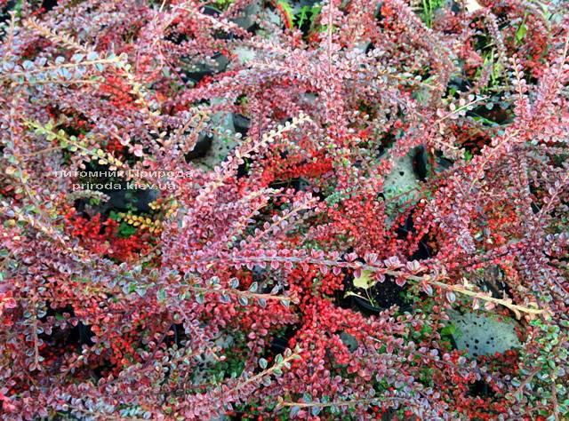 Кизильник горизонтальный (Cotoneaster horizontalis) ФОТО Питомник растений Природа Priroda