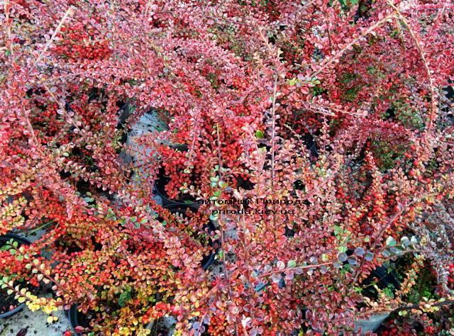 Кизильник горизонтальный (Cotoneaster horizontalis) ФОТО Питомник растений Природа Priroda (9)