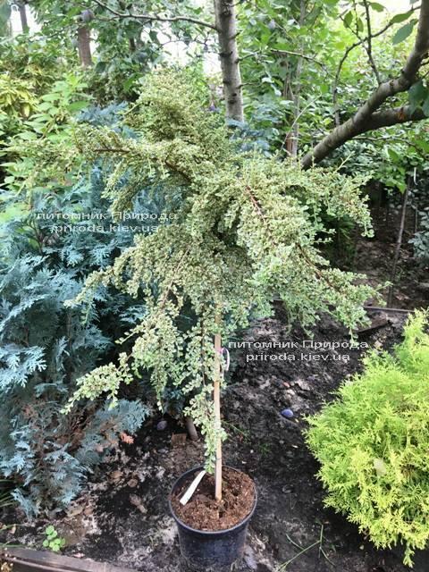 Кизильник горизонтальный Вариегатус (Cotoneaster horizontalis Variegatus) на штамбе ФОТО Питомник растений Природа Priroda (17)