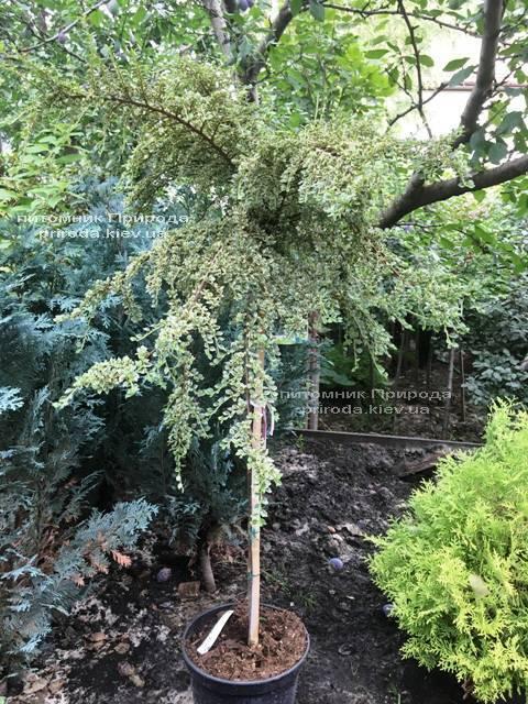 Кизильник горизонтальный Вариегатус (Cotoneaster horizontalis Variegatus) на штамбе ФОТО Питомник растений Природа Priroda (18)
