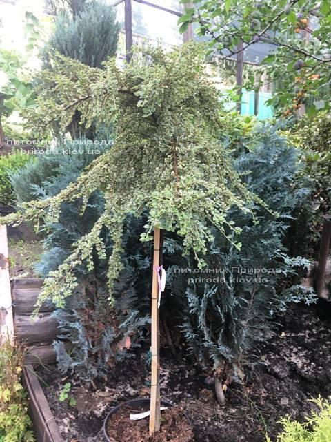 Кизильник горизонтальный Вариегатус (Cotoneaster horizontalis Variegatus) на штамбе ФОТО Питомник растений Природа Priroda (19)