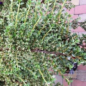 Кизильник горизонтальный Вариегатус (Cotoneaster horizontalis Variegatus) на штамбе ФОТО Питомник растений Природа Priroda (21)
