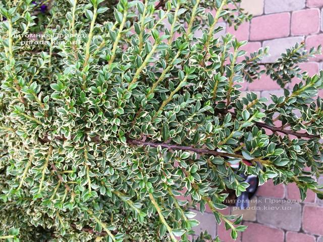 Кизильник горизонтальный Вариегатус (Cotoneaster horizontalis Variegatus) на штамбе ФОТО Питомник растений Природа Priroda