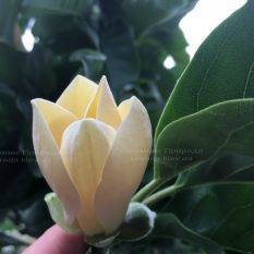 Магнолия голая Дабл Диамонд (Magnolia denudata Double Diamond) ФОТО Питомник растений Природа Priroda