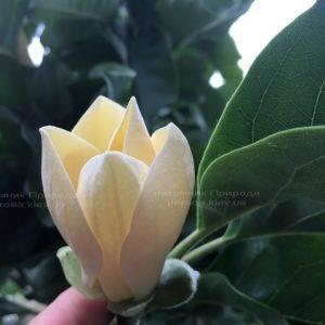 Магнолия голая Дабл Диамонд (Magnolia denudata Double Diamond) ФОТО Питомник растений Природа Priroda (94)