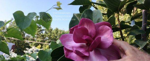Магнолия Клеопатра (Magnolia Cleopatra Tulip) ФОТО Питомник растений Природа Priroda (102)