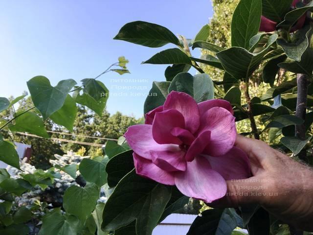 Магнолия Клеопатра (Magnolia Cleopatra Tulip) ФОТО Питомник растений Природа Priroda