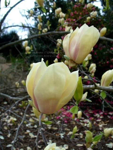 Магнолия Еллоу Лантерн (Magnolia Yellow Lantern) ФОТО Питомник растений Природа Priroda
