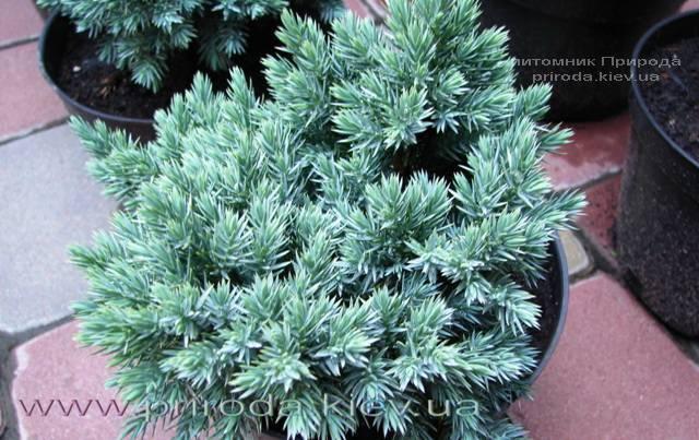 Можжевельник чешуйчатый Блю Стар (Juniperus squamata Blue Star) ФОТО Питомник растений Природа Priroda