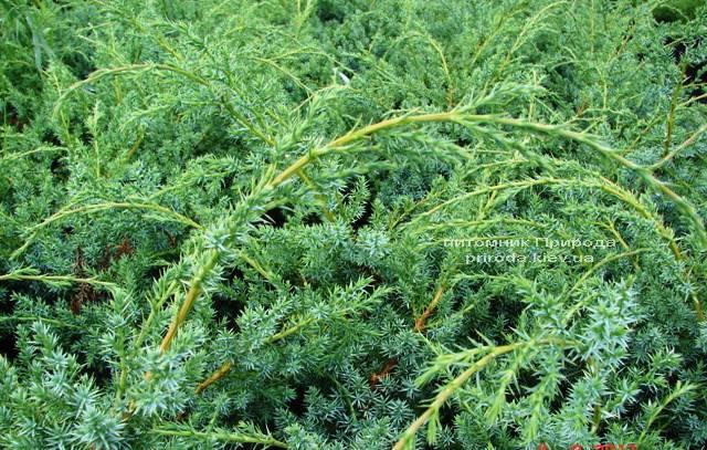 Можжевельник китайский Блю Альпс (Juniperus chnensis Blue Alps) ФОТО Питомник растений Природа (Priroda)