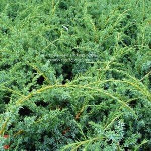 Можжевельник китайский Блю Альпс (Juniperus chnensis Blue Alps) ФОТО Питомник растений Природа (Priroda) (158)