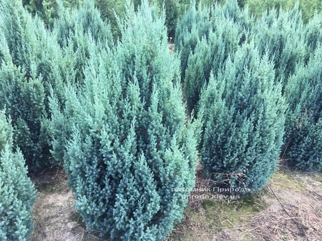 Можжевельник китайский Стрикта (Juniperus chinensis Stricta) ФОТО Питомник растений Природа Priroda (193)
