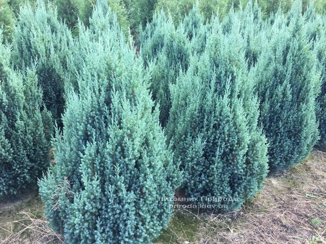 Можжевельник китайский Стрикта (Juniperus chinensis Stricta) ФОТО Питомник растений Природа Priroda