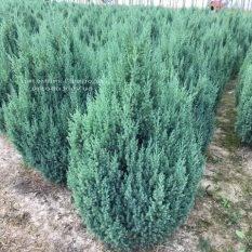 Можжевельник китайский Стрикта (Juniperus chinensis Stricta) ФОТО Питомник растений Природа Priroda (191)