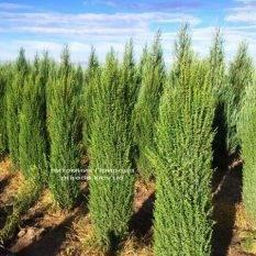 Можжевельник обыкновенный Арнольд (Juniperus communis Arnold) ФОТО Питомник растений Природа Priroda (199)