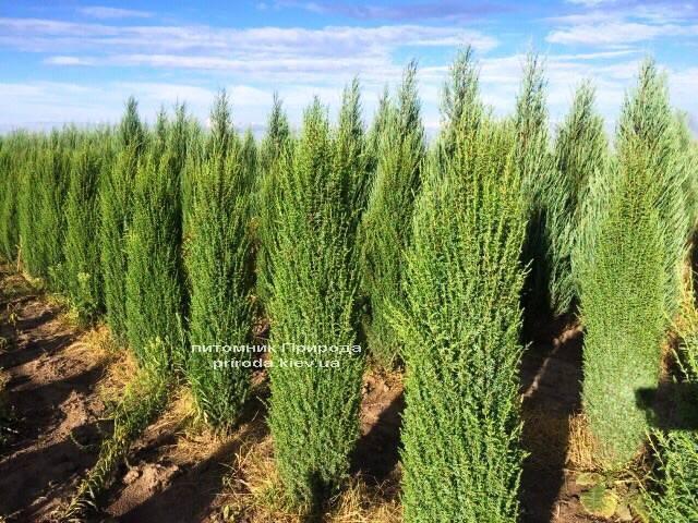 Можжевельник обыкновенный Арнольд (Juniperus communis Arnold) ФОТО Питомник растений Природа Priroda