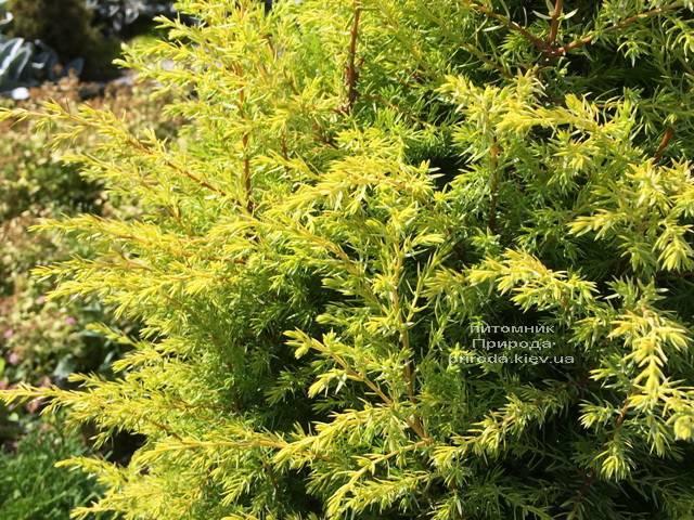 Можжевельник обыкновенный Голд Кон (Juniperus communis Gold Cone) ФОТО Питомник растений Природа Priroda (205)