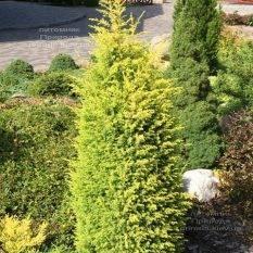 Можжевельник обыкновенный Голд Кон (Juniperus communis Gold Cone) ФОТО Питомник растений Природа Priroda