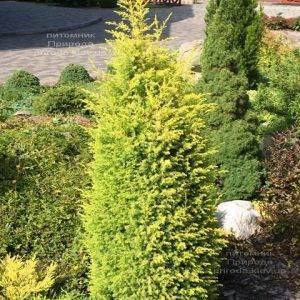 Можжевельник обыкновенный Голд Кон (Juniperus communis Gold Cone) ФОТО Питомник растений Природа Priroda (206)