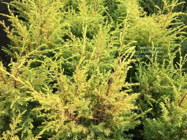 Можжевельник обыкновенный Голд Кон (Juniperus communis Gold Cone) ФОТО Питомник растений Природа Priroda (209)