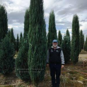 Можжевельник скальный Блю Арроу/Блю Эрроу (Juniperus scopolorum Blue Arrow) ФОТО Питомник растений Природа Priroda (177)