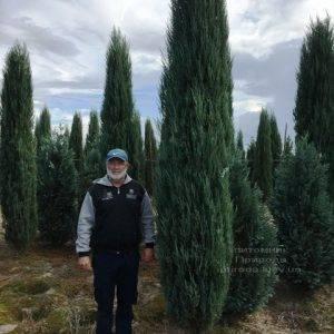 Можжевельник скальный Блю Арроу/Блю Эрроу (Juniperus scopolorum Blue Arrow) ФОТО Питомник растений Природа Priroda (182)