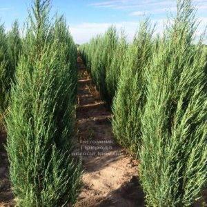 Можжевельник скальный Блю Арроу/Блю Эрроу (Juniperus scopolorum Blue Arrow) ФОТО Питомник растений Природа Priroda (170)