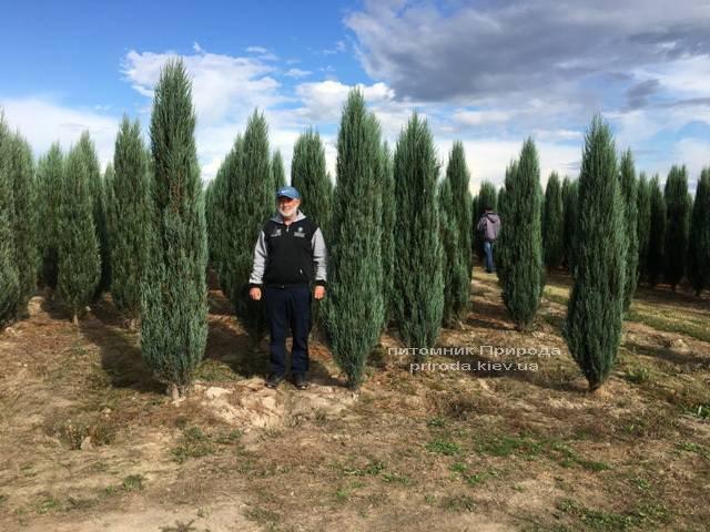Можжевельник скальный Блю Арроу/Блю Эрроу (Juniperus scopolorum Blue Arrow) ФОТО Питомник растений Природа Priroda (175)